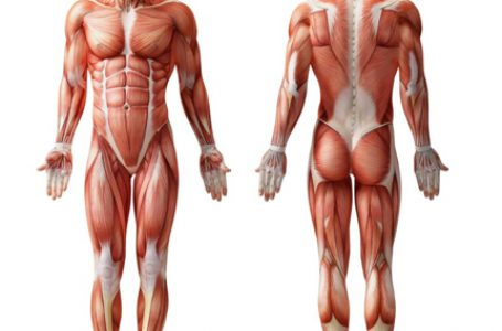 How Do Muscles Grow? The Science of Muscle Growth